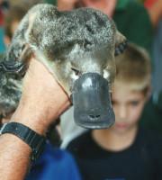 Platypus_in_Geelong